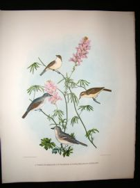 Elliot Birds of North America 1869 LG Folio H/Col Print. Vireos